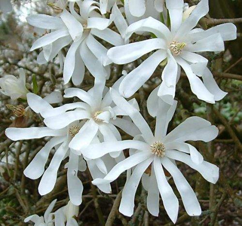 Magnolia stellata c30 80 100 tienda online de viveros - Magnolia planta cuidados ...