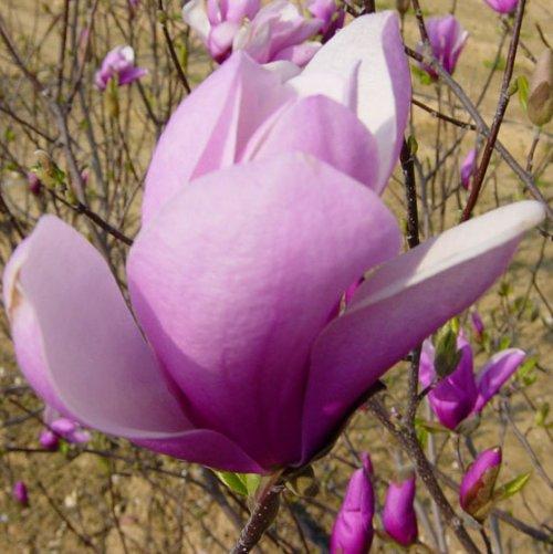 Magnolia jane c30 80 100 tienda online de viveros del sueve - Magnolia planta cuidados ...