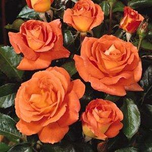 Rosal arbustivo floribunda daniel gelin 3l tienda online for Viveros el rosal