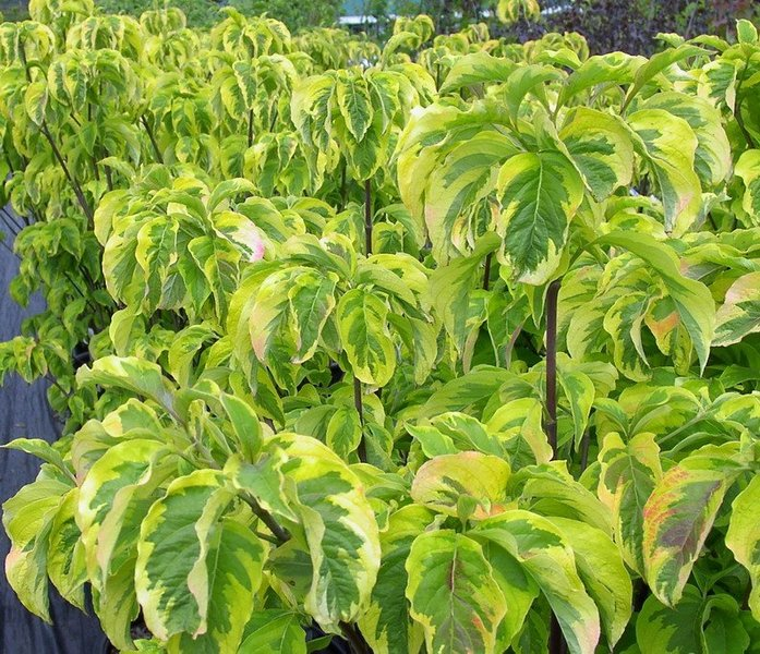 Cornus florida rainbow m22 60 80 cm - Cornus florida rainbow ...
