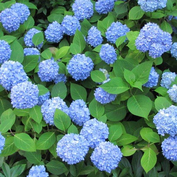 hydrangea hortensia refloreciente azul tienda online de viveros del sueve. Black Bedroom Furniture Sets. Home Design Ideas
