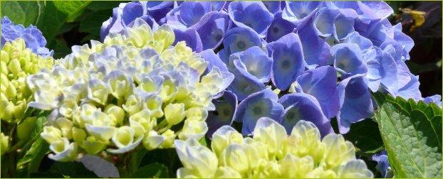 Las hortensias cuidados y mantenimiento tienda online - Cuidado de las hortensias ...